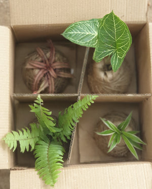 Kokedama Balls Box of 4
