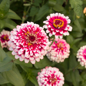 ZINNIA SMALL GIY KIT