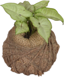 Kokedama Ball Syngonium (light green)