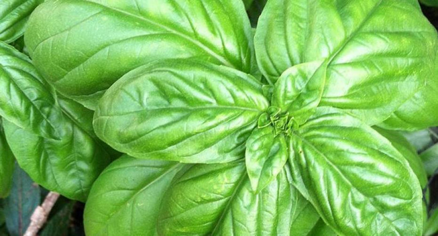 Box of Sweet Basil Leaves