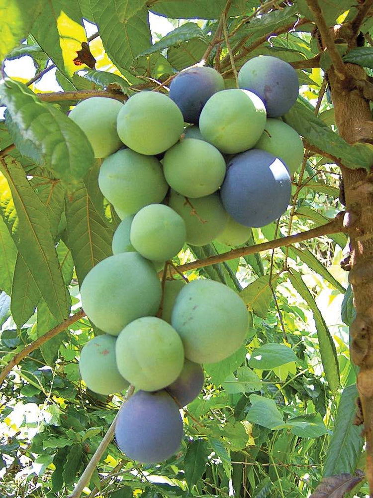Davidson Plum - an Australian native powerhouse