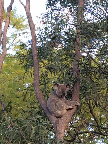 Koalas - a few fun facts about Koalas