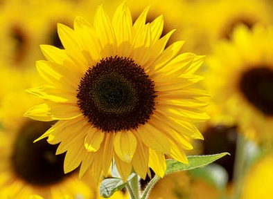 Sunflower Oil, the unsung hero of oils.