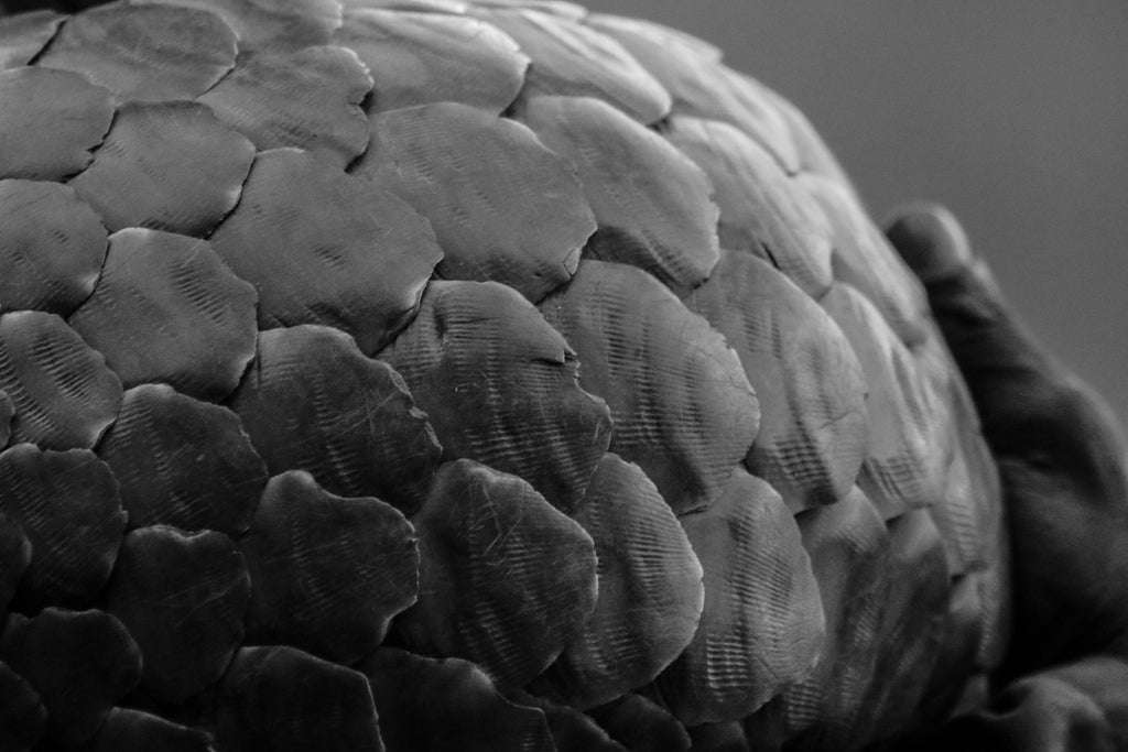 Pangolin conservation south africa