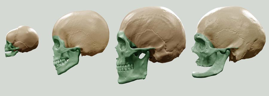 The differences of aging represented on a human skull for artists