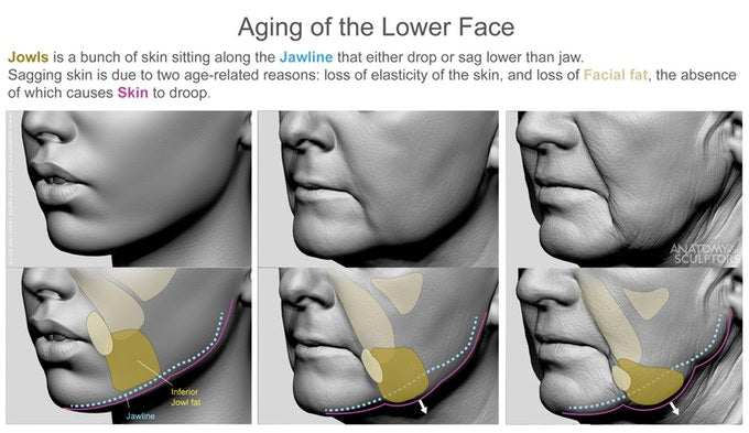 Aging of the lower face anatomy for artists