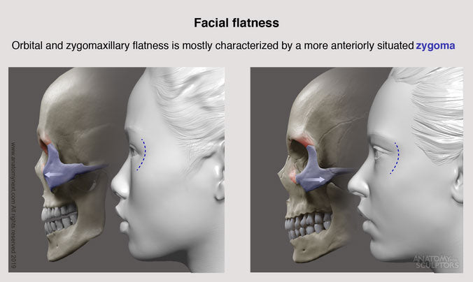 Facial Flatness of Asian Female face and Caucasian Female face for artists by anatomy for sculptors
