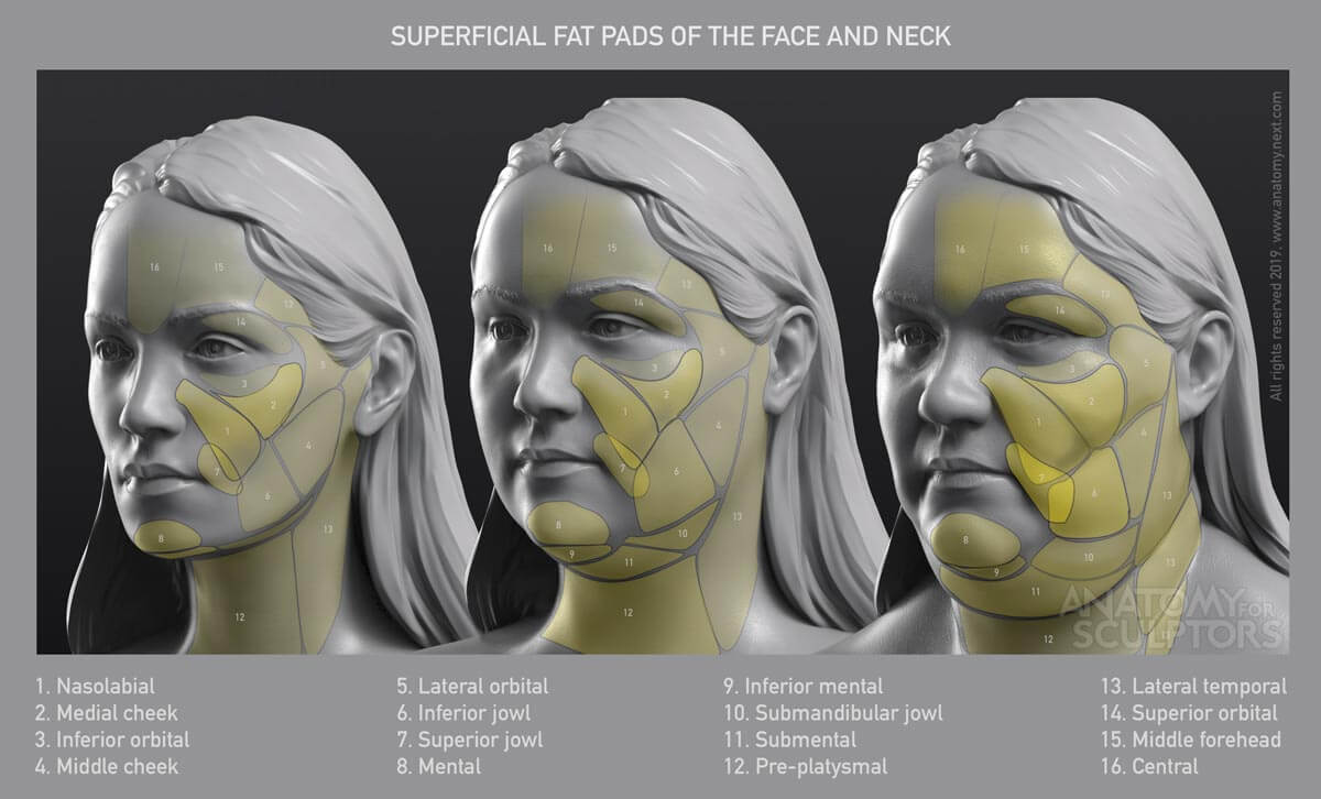 Superficial fat pads of the head and neck anatomy for artists by anatomy for sculptors
