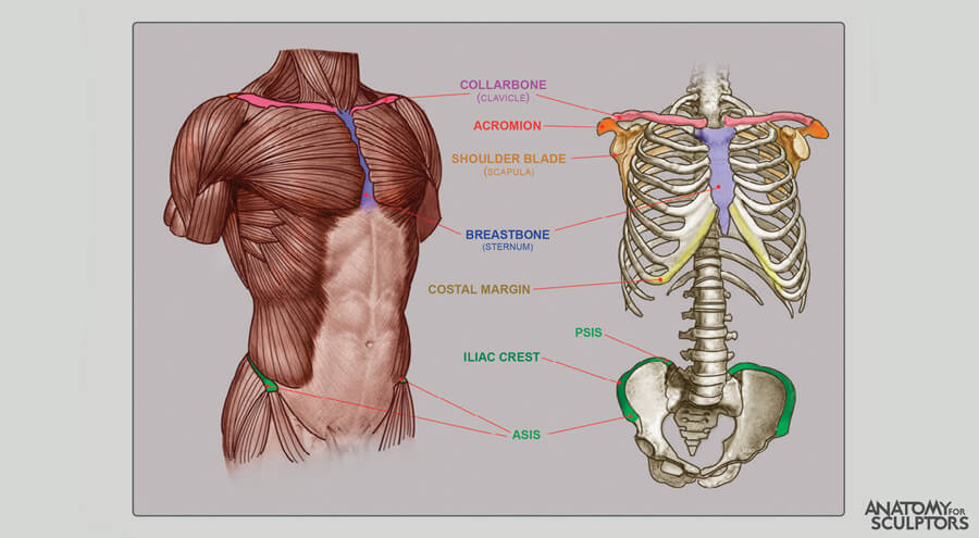 bony land marks of male body anatomy for sculptors