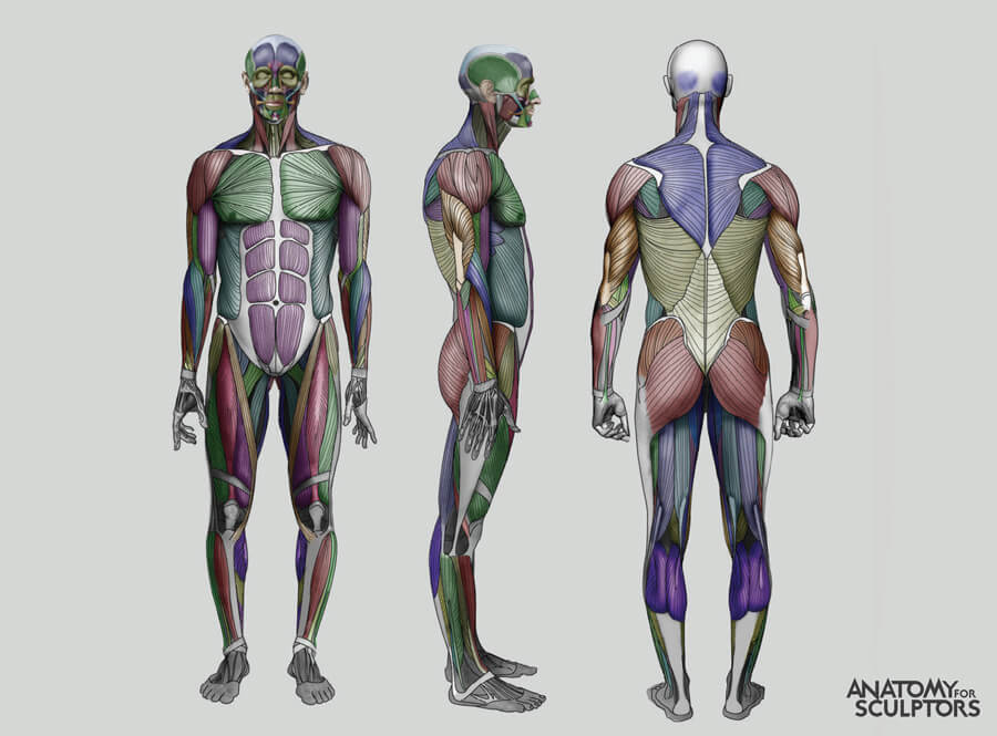 ecorche human male body with muscles anatomy for artists by anatomy for sculptors