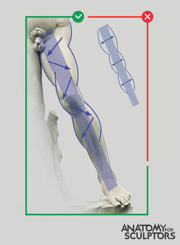 muscle traversing down the lower limb by anatomy for sculptors