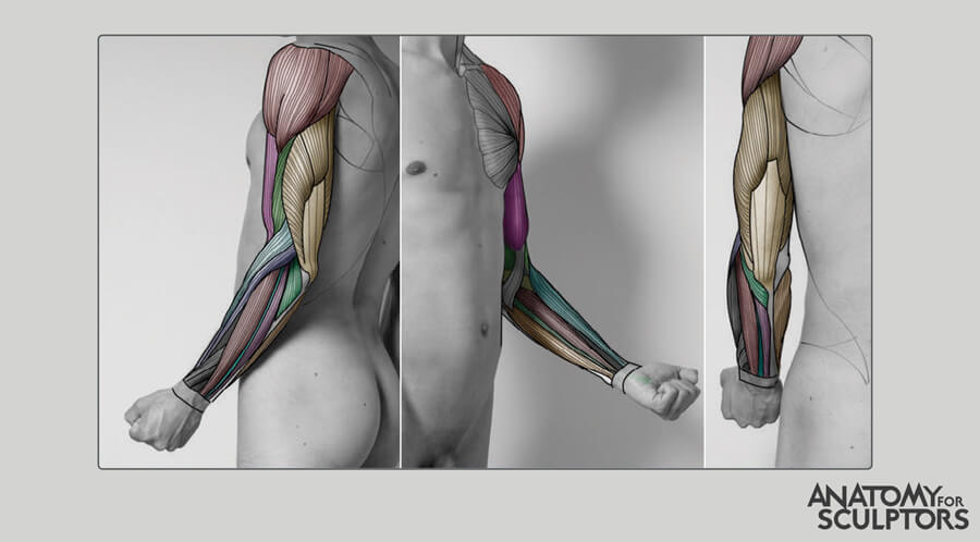 partly flexed male arm by anatomy for sculptors