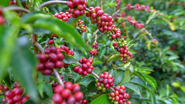 Gesha Coffees – Liquid Gold?