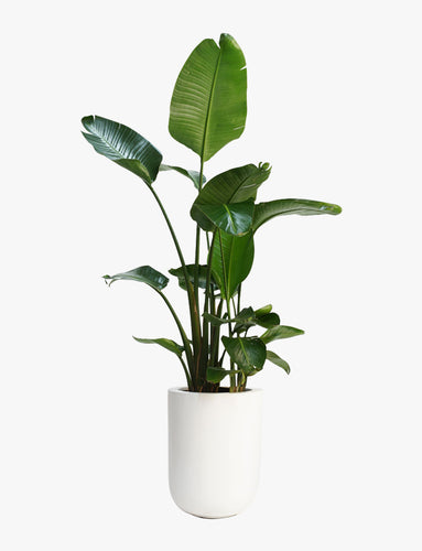 Monstera Leaf In Vase
