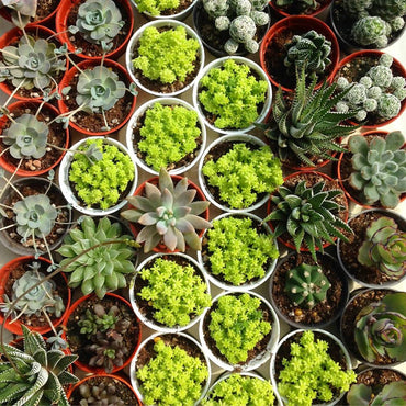 Assorted Succulents (x1)