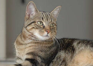 domestic short hair cat breed