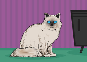 Blue Eyed Himalayan Cat