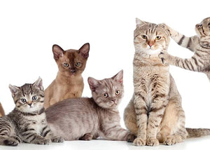 guide to cat breeds