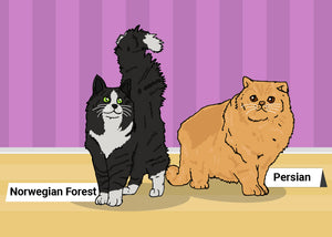 Norwegian Forest and Persian cats