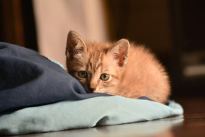 Ginger kitten half hiding