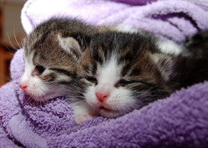 Two-tiny-kittens-in-purple-towel