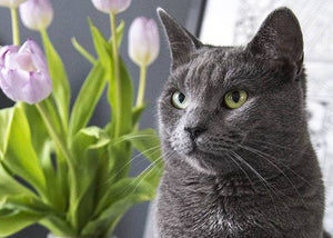 plants toxic to cats - tulips