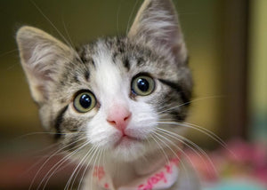 5 Top Questions About Spaying or Neutering Your Kitten