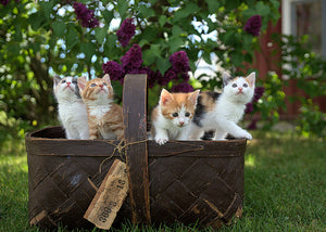 The Basics of Kitten Foster Care