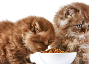 kittens eating cat food