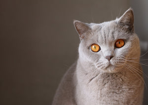 grey-cat-portrait