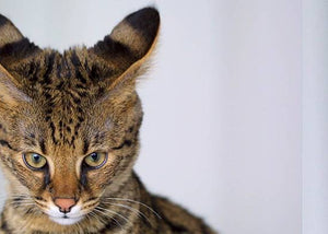 savannah rare cat breed