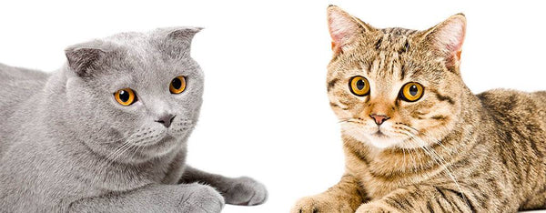 The Cutest Cat Breeds - Scottish Fold and Scottish Straight Cats