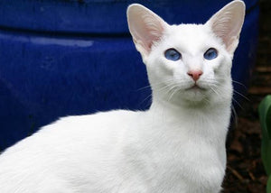 vocal cat breed siamese oriental