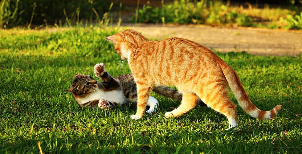 cats fighting outdoors