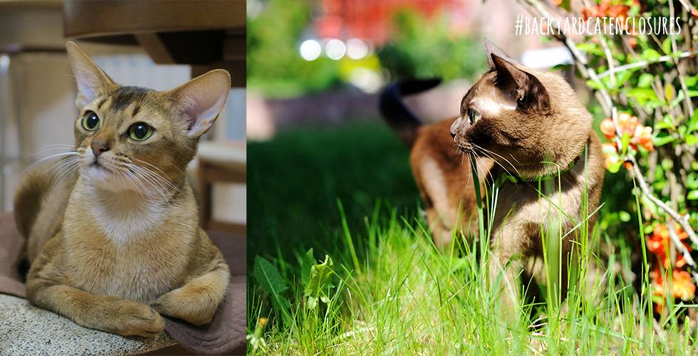 Abyssinian and Burmese cat breeds