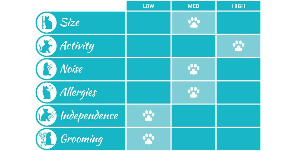 bengal cat breed profile infographic