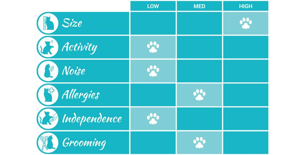 british shorthair cat breed profile infographic