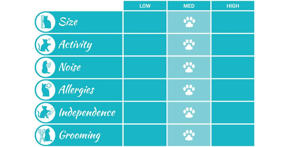 domestic short hair cat breed profile infographic