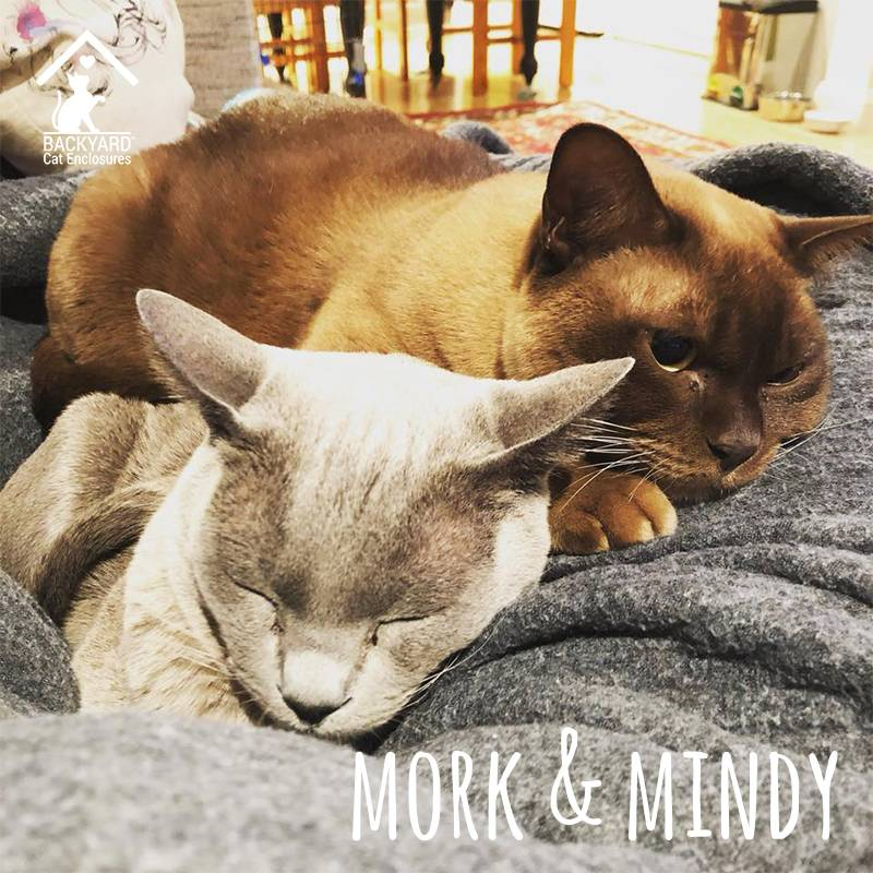 mork and mindy burmese cats