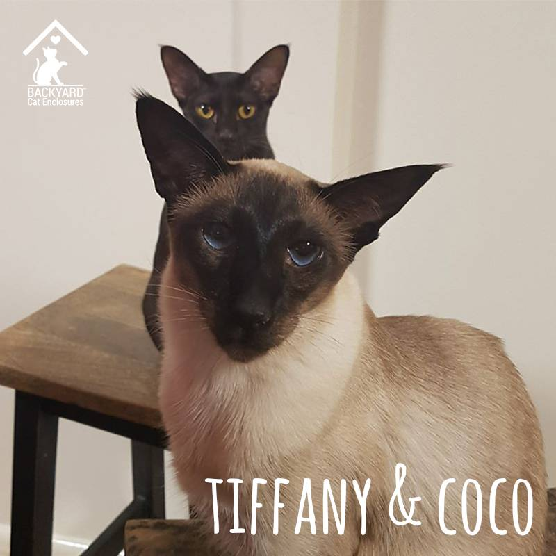 tiffany and coco siamese cats