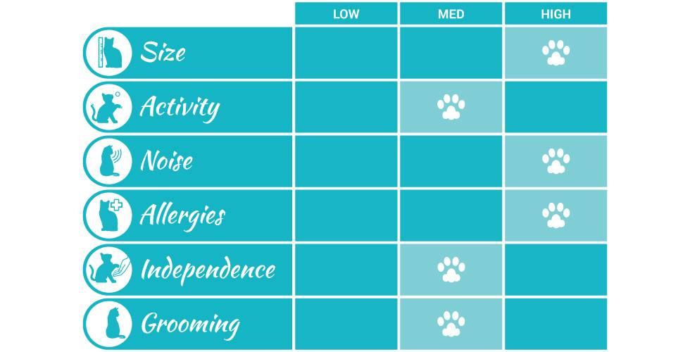 maine coon cat breed profile infographic