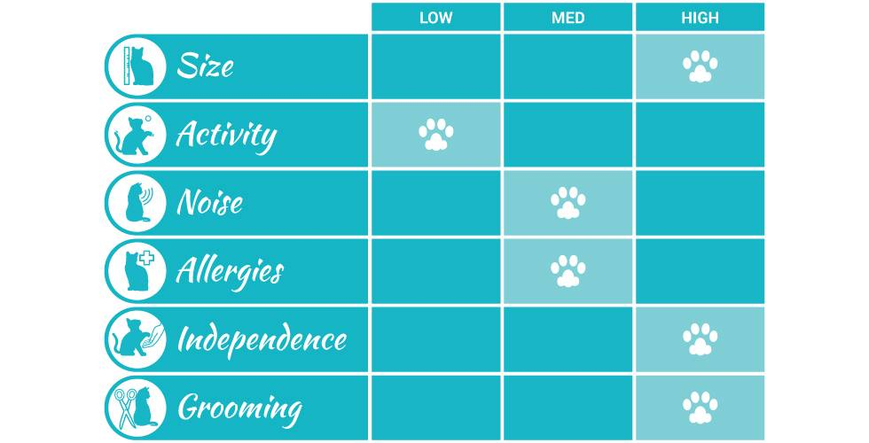 norwegian forest cat breed profile infographic