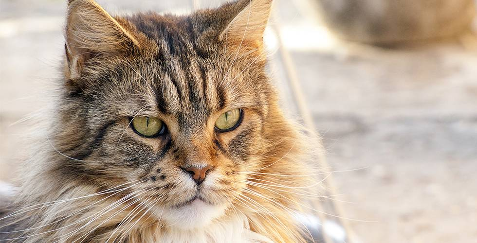 assertive maine coon cat