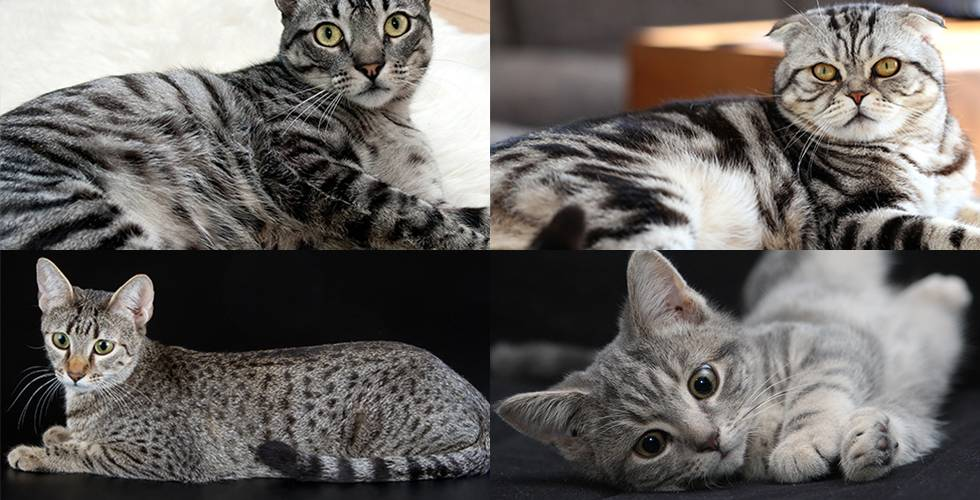 The Tabby Cat - Top 3 Fur-bulous and Fascinating Facts