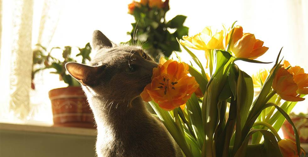 cat smell tulips