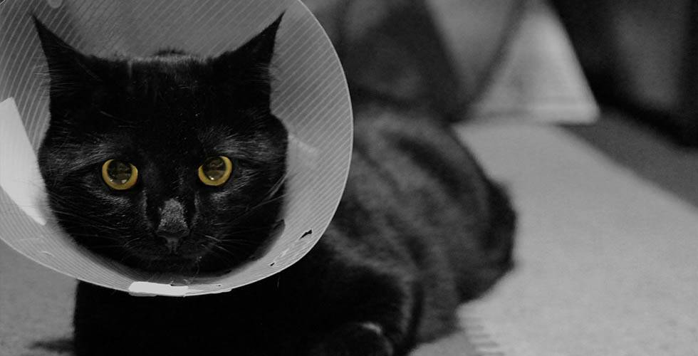 cat wearing Elizabethan collar in vet