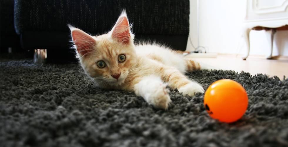 maine coon kitten playing on floor