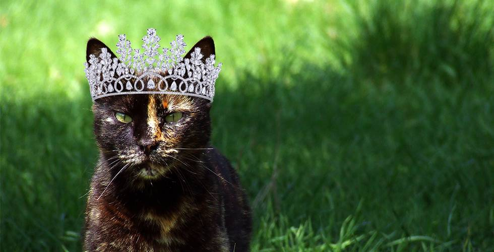 shorthair tortoiseshell cat with crown