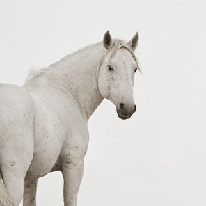 An image of a white horse looking back at the viewer. The horse stands in front of a white background. The horse is photographed from mid leg up.