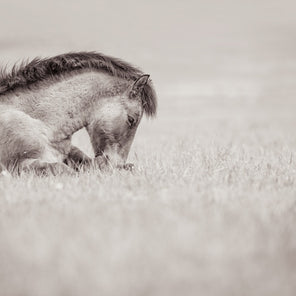 A black and white photo of a foal laying in a field of grass. The horse is positioned on the left side of the composition.